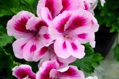 martha washington geraniums bi color
