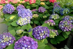 purple greenhouse hydrangea